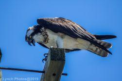Osprey_29