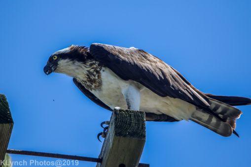 Osprey_33
