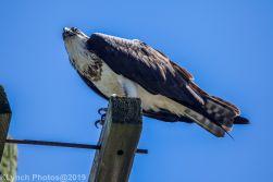 Osprey_34