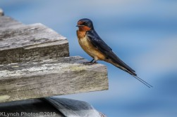 Swallow_13