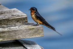 Swallow_15