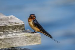 Swallow_17
