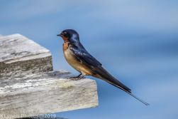Swallow_18
