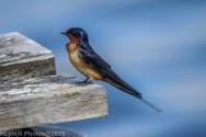 Swallow_20