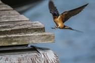 Swallow_22