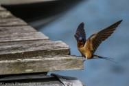 Swallow_23
