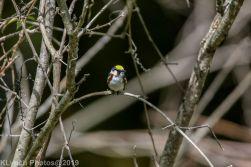 Warbler_2