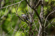 Warbler_5