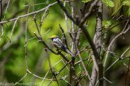 Warbler_6