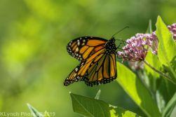 Butterfly_13