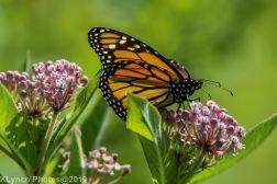 Butterfly_14