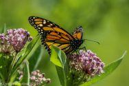 Butterfly_17