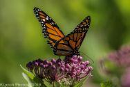 Butterfly_19
