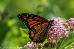 Butterfly_5