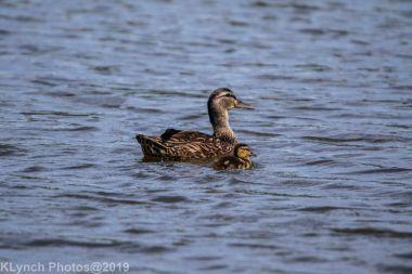 Duckling_1