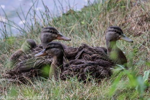 Ducks_11