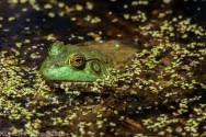 Frog_12