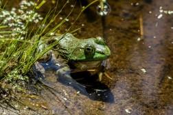 Frog_6