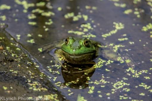 Frog_8