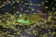 Frog_9
