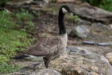 Goose_1