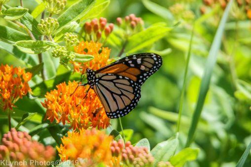 monarch barnstable
