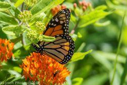 monarch barnstable_1