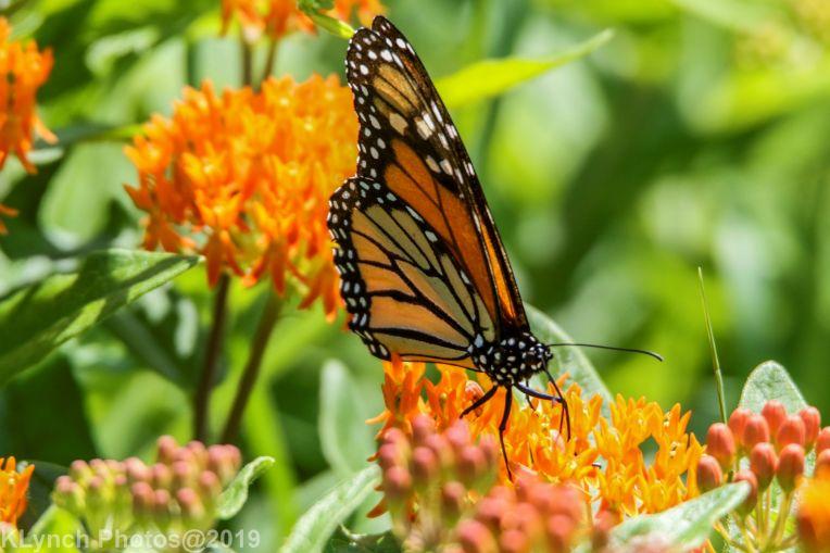 monarch barnstable_3