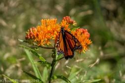 monarch_14