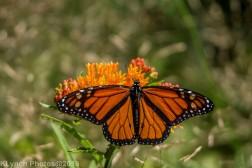 monarch_16