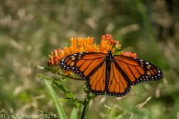 monarch_17