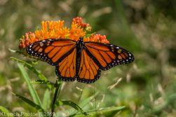 monarch_18