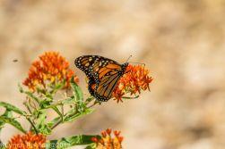 monarch_2