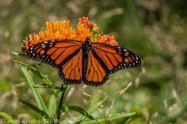 monarch_20