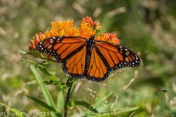 monarch_23