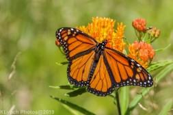 monarch_26