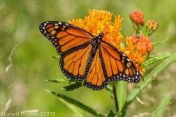 monarch_27