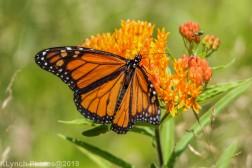 monarch_28