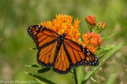 monarch_29