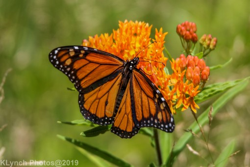 monarch_30