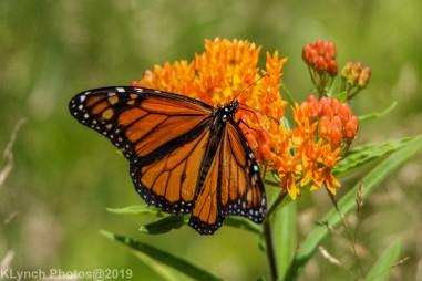 monarch_31
