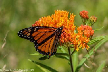 monarch_32