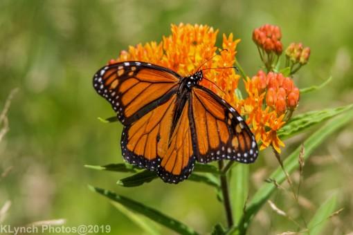 monarch_33