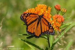 monarch_34