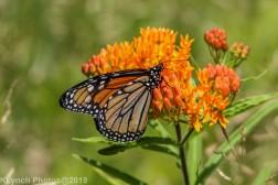 monarch_35