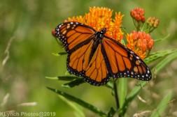 monarch_36