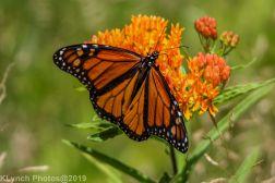monarch_37