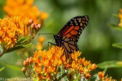 monarch_38
