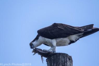 Osprey_10