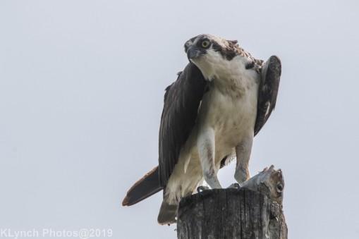Osprey_11